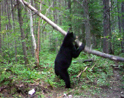 Image of Black Bear breaking a tree - Gogama, Ontario