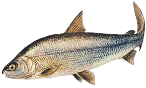 Image of a Whitefish lurking in Watershed Bear Outfitters web page